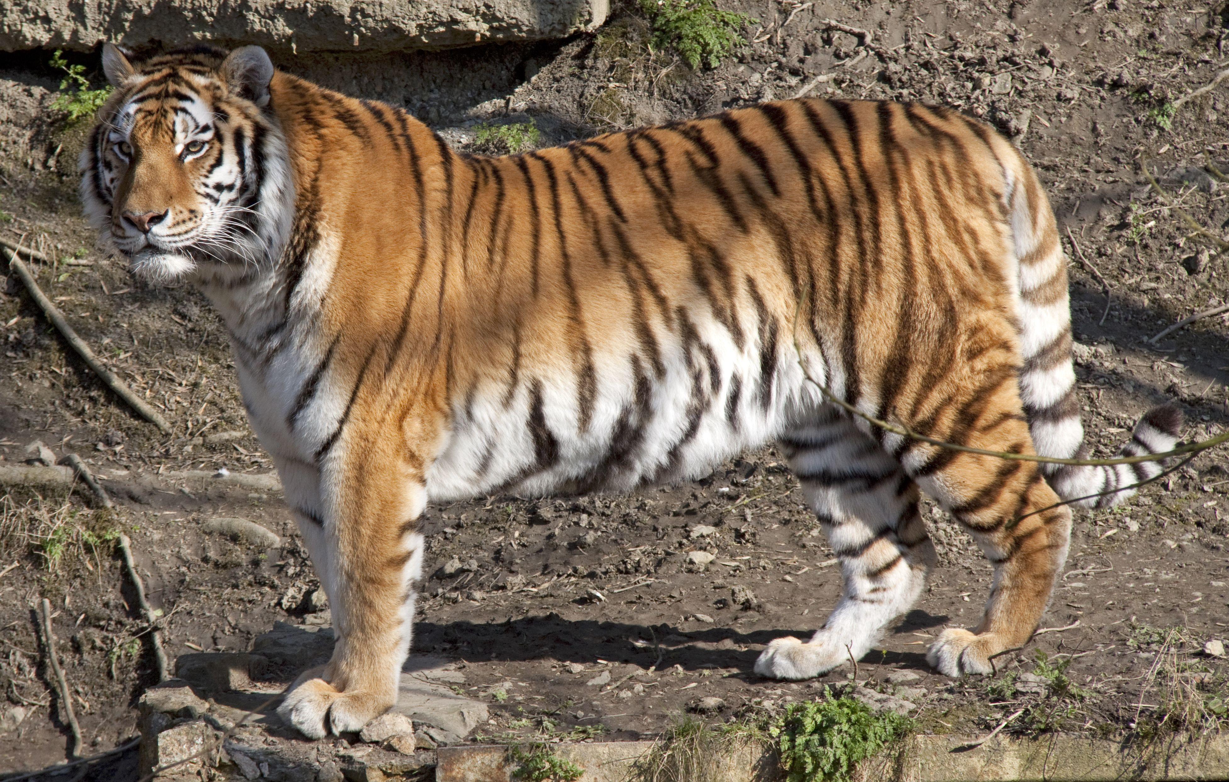 Side View of an Amur Tiger standing still Amur tiger