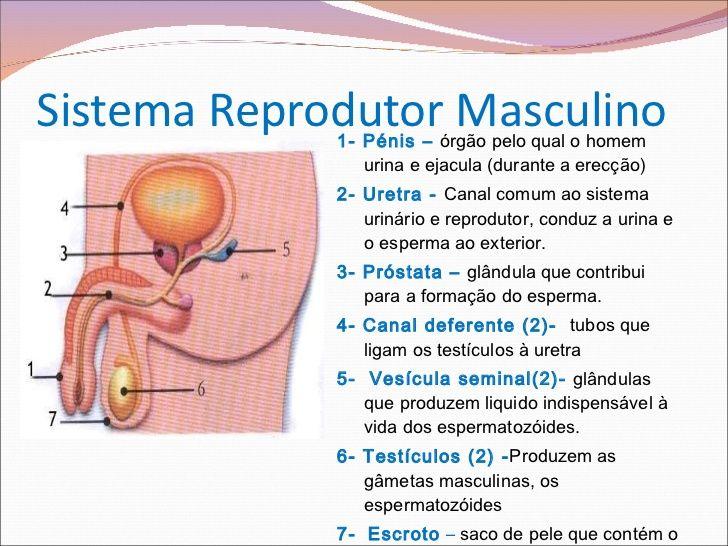 Sistema Reprodutor Masculino E Feminino 2ºciclo Com Imagens