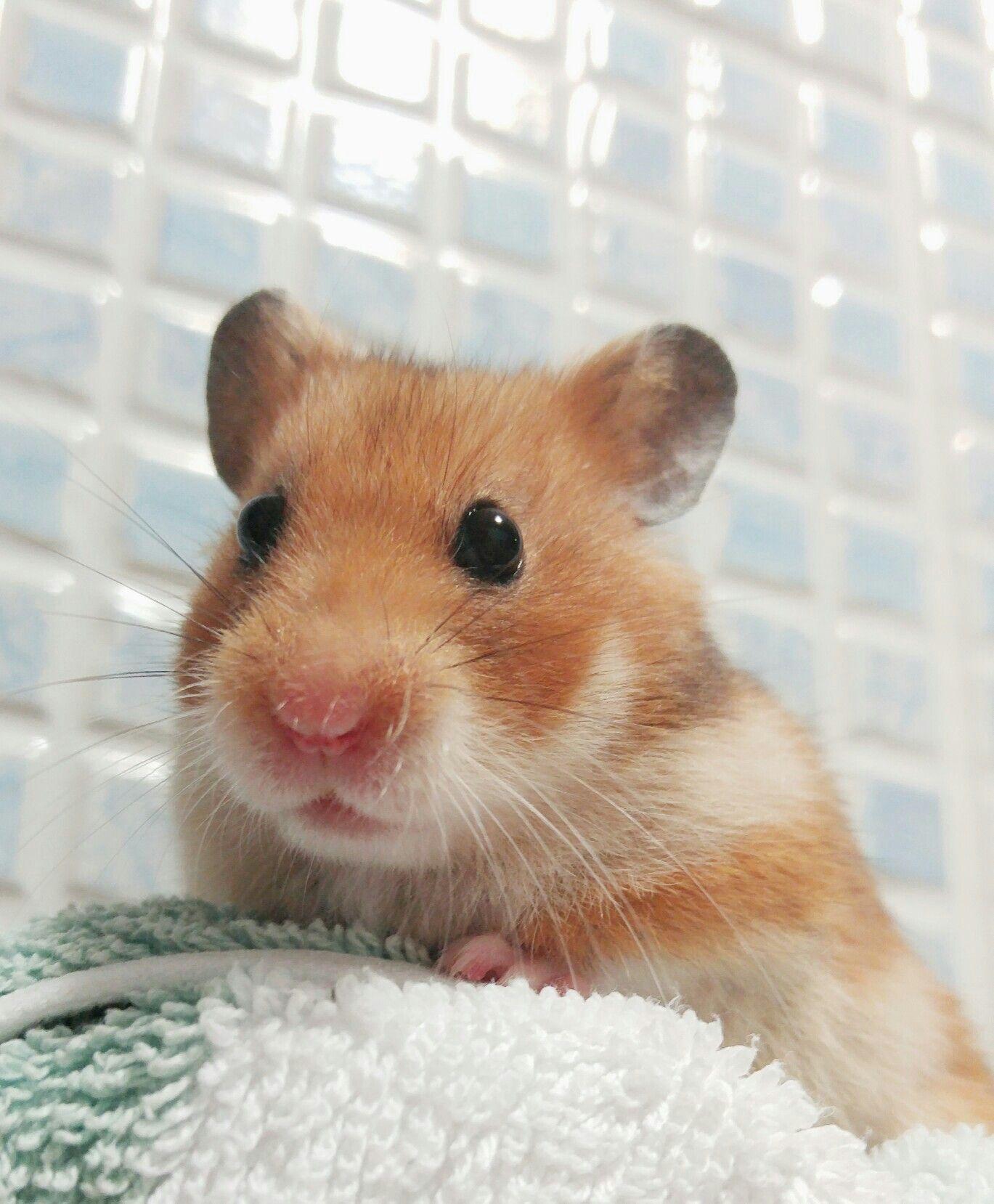 Sooooo cute!! Funny hamsters, Cute hamsters, Super cute