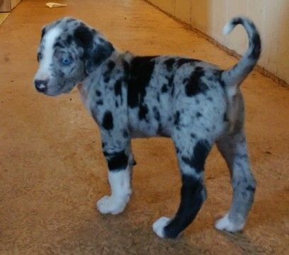 Litter Of 7 Catahoula Leopard Dog Puppies For Sale In Coldwater