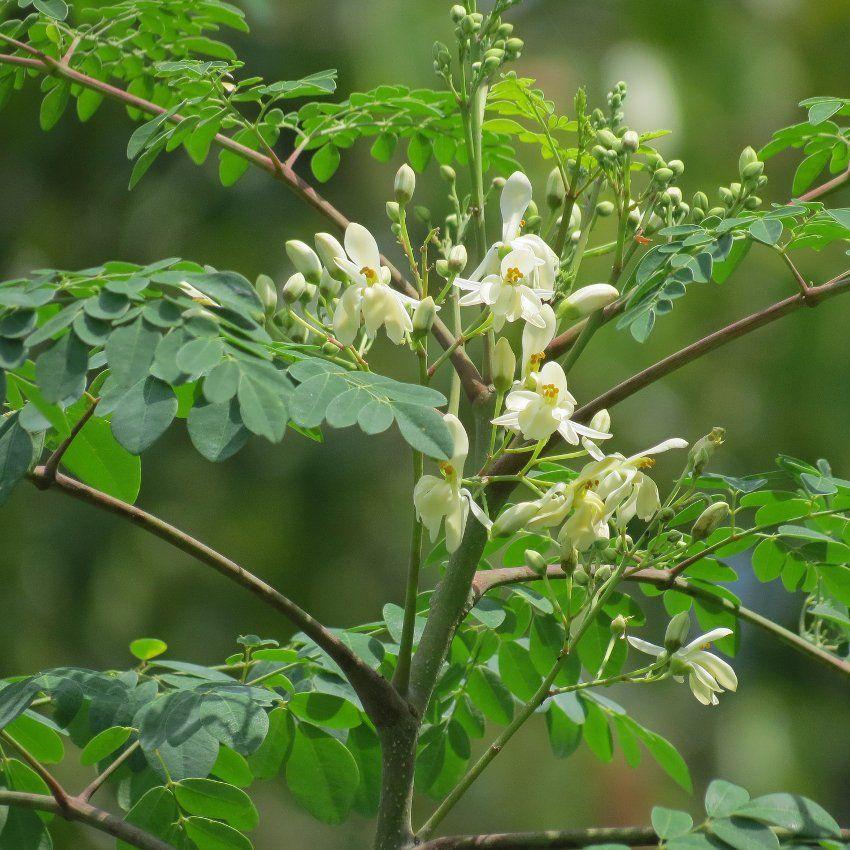 Drumstick Tree Of Life Malunggay Moringa Oleifera 20 Seeds Moringa Tree Moringa Garden Design Plans