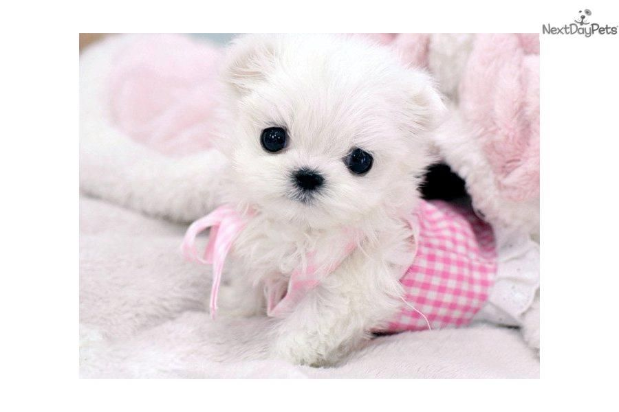 Maltese Puppy For Sale Near West Palm Beach Florida C5dce9b3