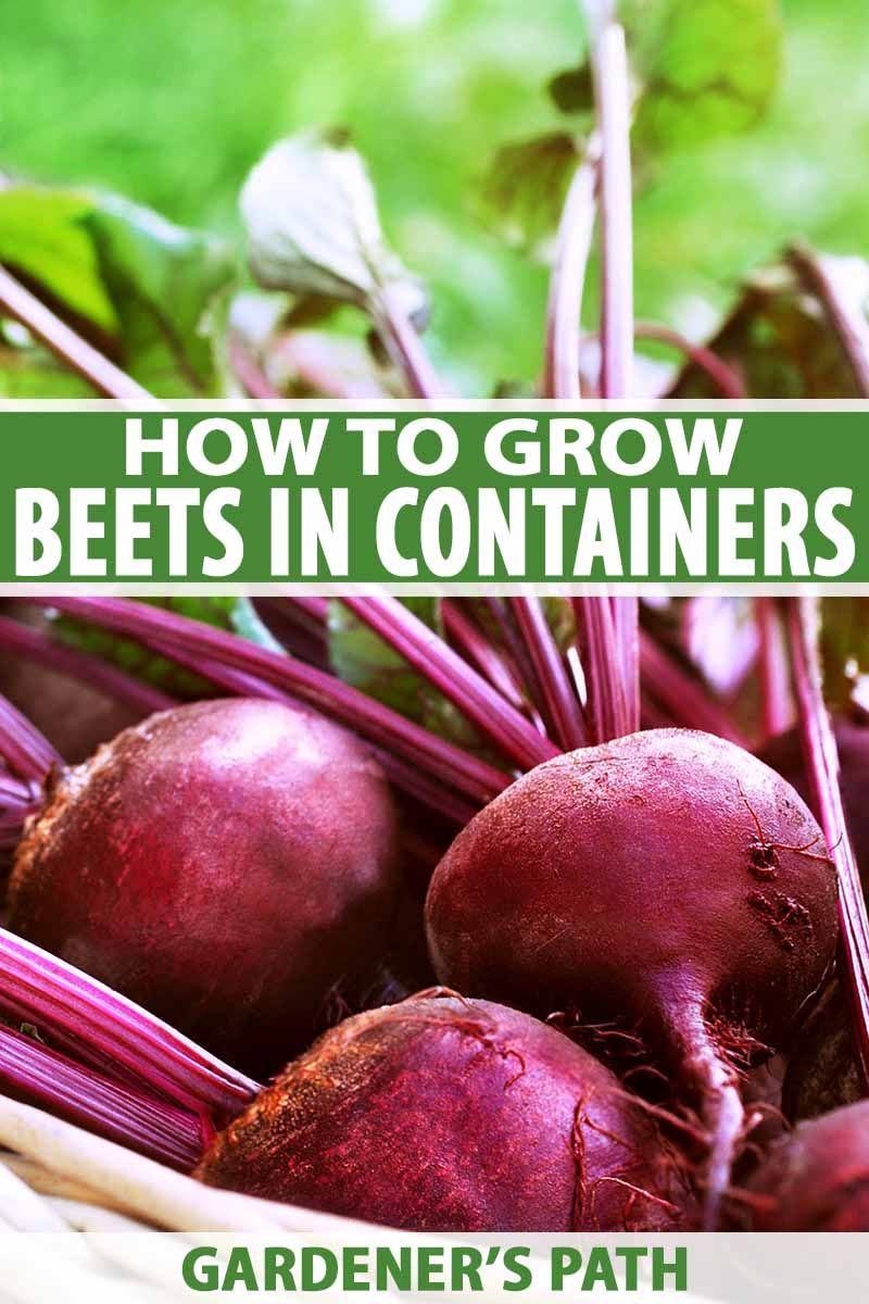 How To Grow Beets In Containers Gardener S Path Growing Beets Beets Beet Plant