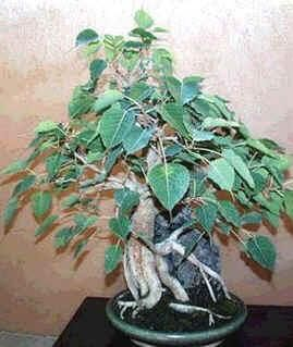 Ficus Religiosa Seeds Bodhi Tree Bo Tree Sacred Fig See More At Http Www Rarexoticseeds Com En Bonsai Seeds Ficus Religios Tree Seeds Ficus Ficus Tree