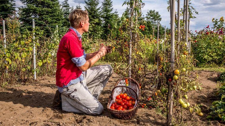 Peter Rasch Kniet Vor Den Tomatenpflanzen