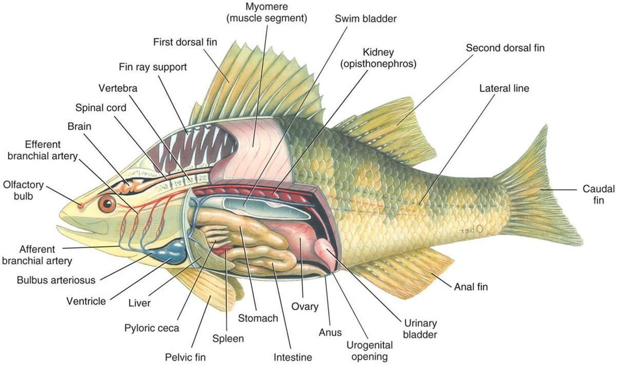 medium resolution of yellow perch diagram bentonzoology perch wiring diagram sys perch diagram wiring diagram technic yellow perch diagram