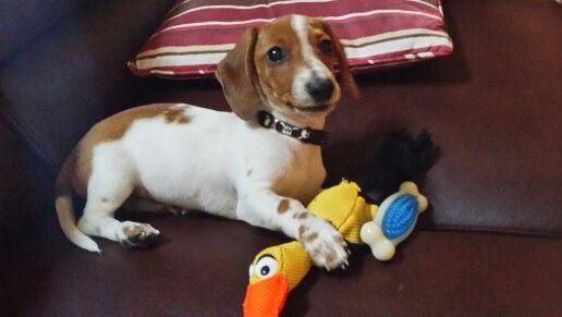 Dachshund Beagle Mix Aka Doxle Wiegle Puppy Toys Toy Puppies