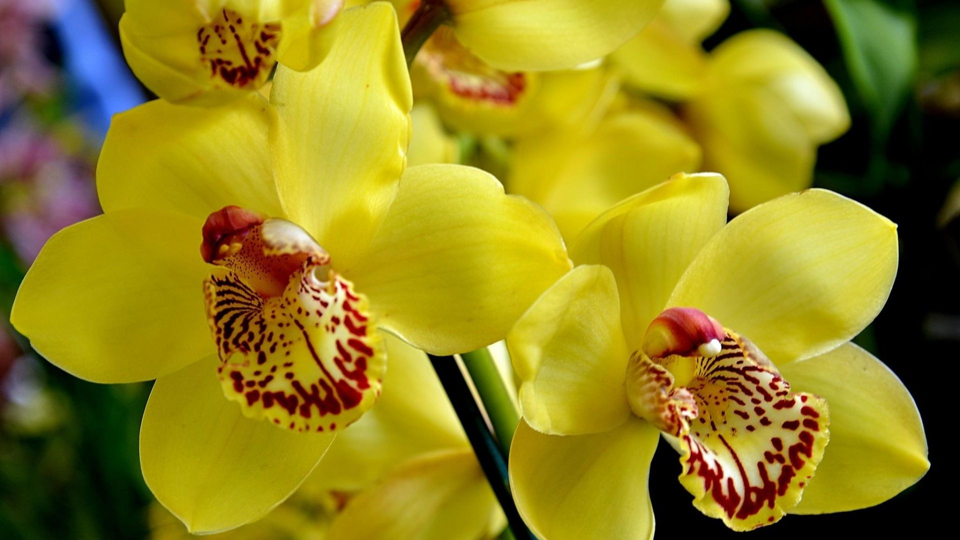 Pleasant Orchid Flower Bright Yellow Hd Images « Pin HD