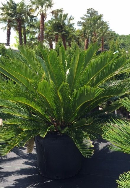Pin By Randy S Nursery Gwinnett On Palm Trees For Atlanta