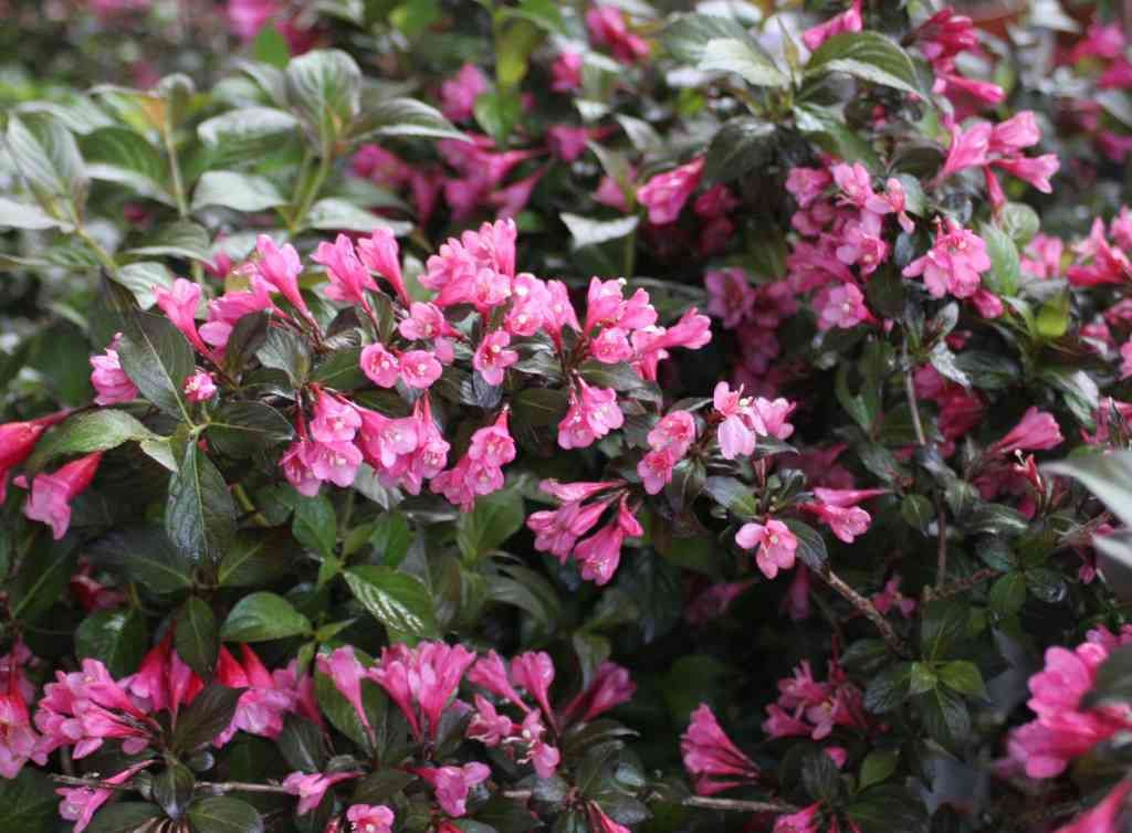 Weigela Florida Minor Black Compact Rounded Deciduous Shrub With Bronze Flushed Dark Soil Typedark Purplegarden Plantspink Flowersshrubsfloridacompact
