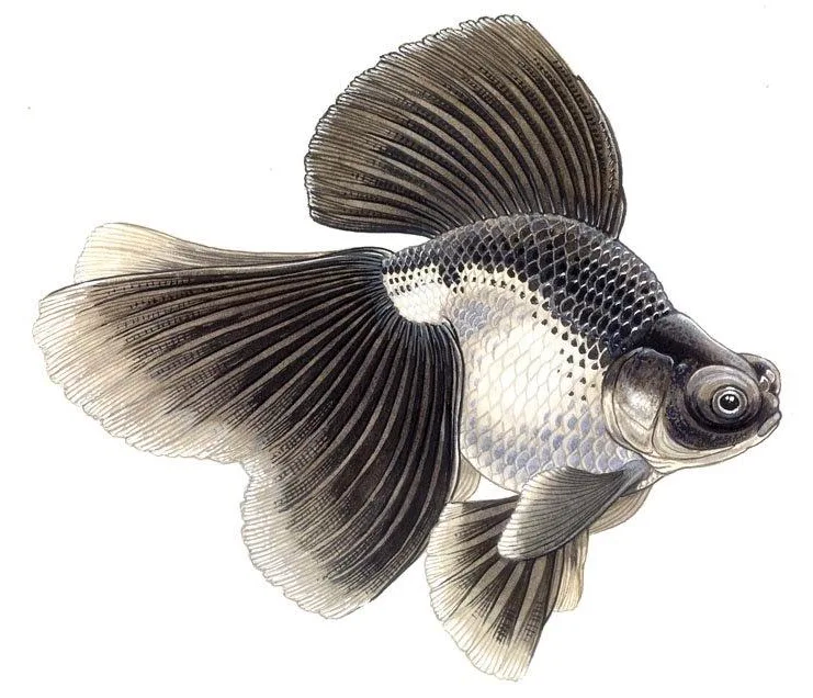 Broadtail Telescope The Goldfish Council Goldfish Art Goldfish Fish Art