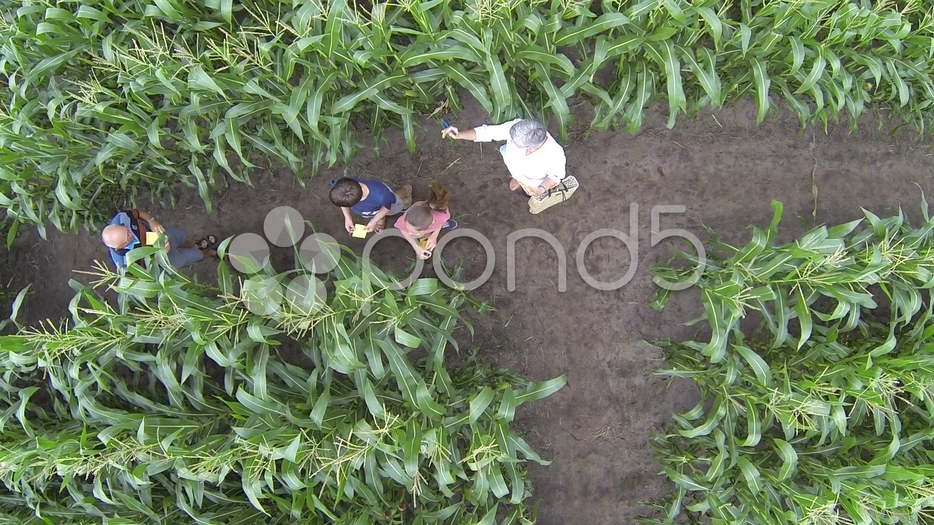 Maze in a korn field areal drone shots Stock Footage fieldarealkornMaze