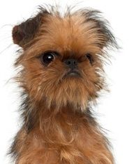 Cute Brussels Griffon Puppy -    These little guys are cute and compact and luckily for us, they dont get much bigger! Brussels Griffons weight between 8 and 10 pounds, never more than 12.