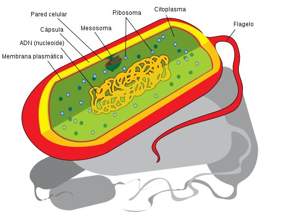 File Prokaryote Cell Diagram Es Svg Prokaryotic Cell Cell Diagram Prokaryotes