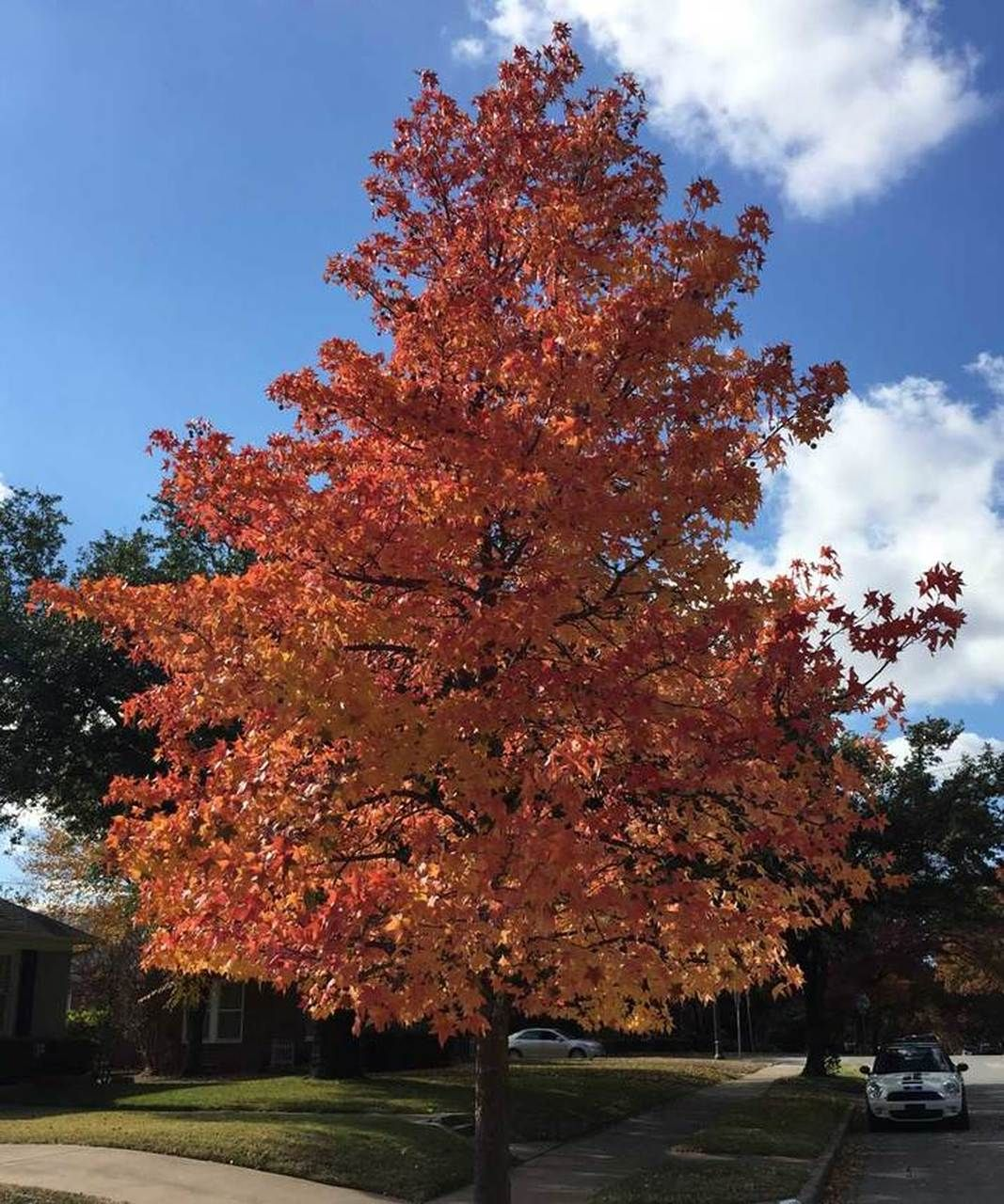 Sweet Gum Tree With Images Sweet Gum Plants Cool Landscapes