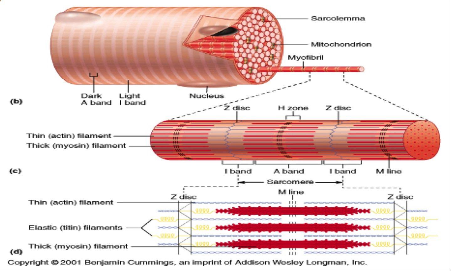 skeletal muscle fiber labeled - Google Search   Skeletal ...
