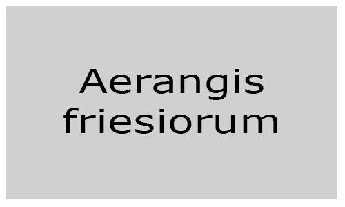Aerangis friesiorum