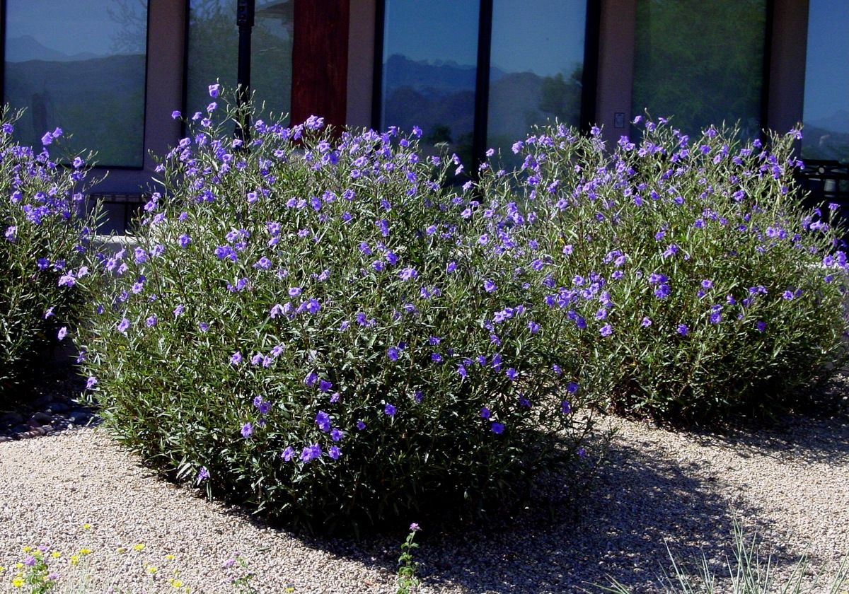 Desert Ruellia Ruellia Peninsularis Plants Mediterranean