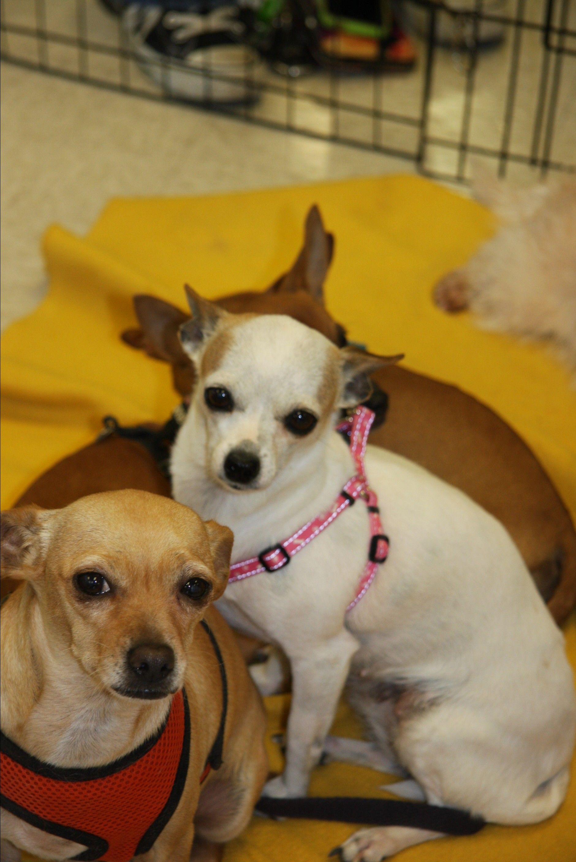 Jack Chi Dog For Adoption In Gilbert Az Adn 585857 On