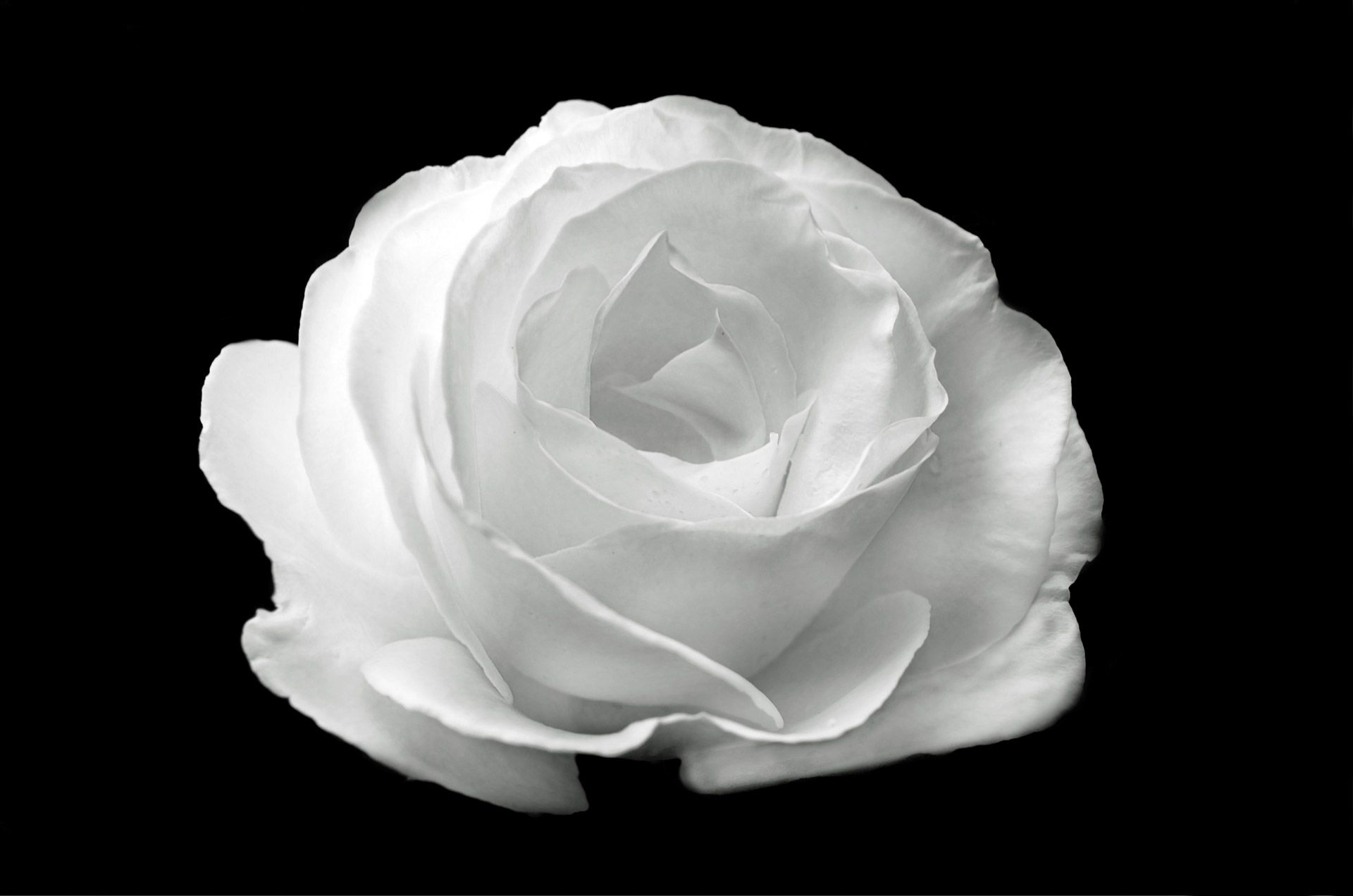 White Rose On The Black Background 1920 X 1272 Size Available For Free Download Higher Res For Sale 1 Enla White Roses Black And White Black Backgrounds