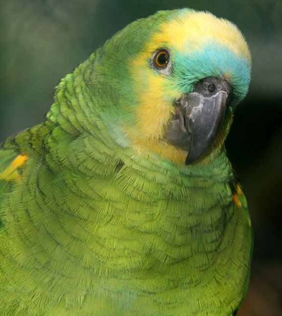 Teaching Your Parrot to Talk (Caring for a Parrot)