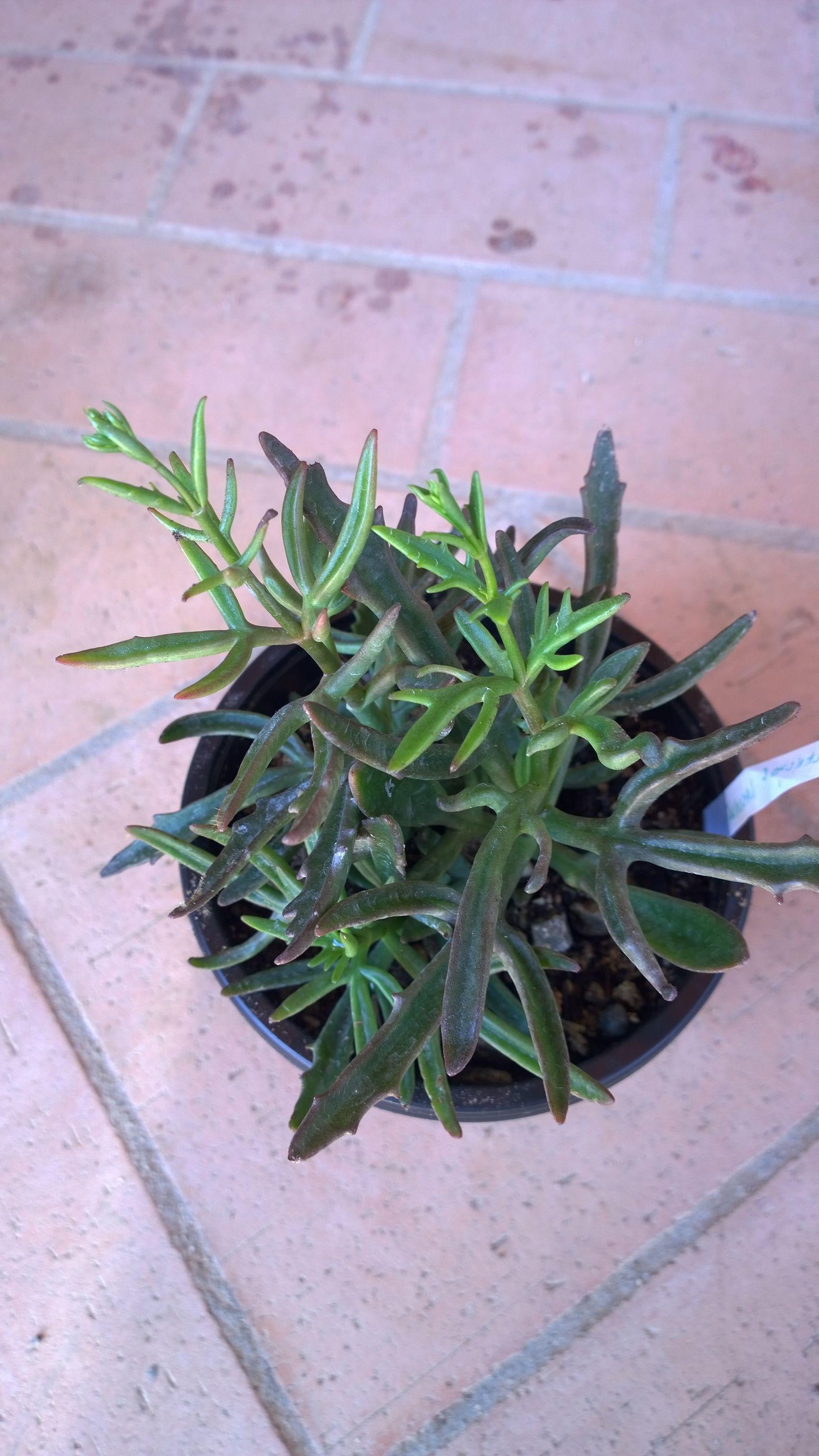 Laciniata