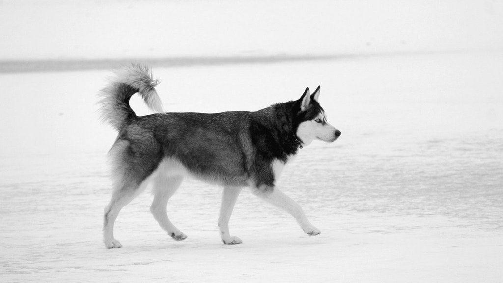 Black white husky husky siberian husky puppies