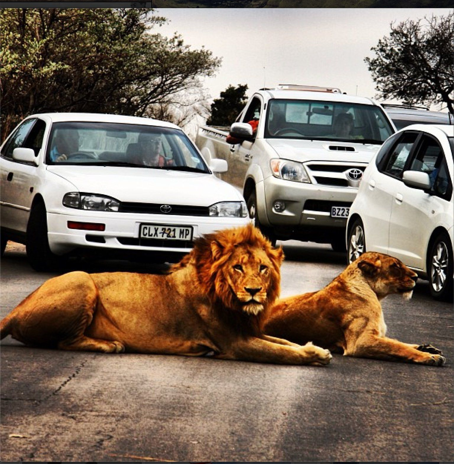 Lions and tigers and traffic jams oh my