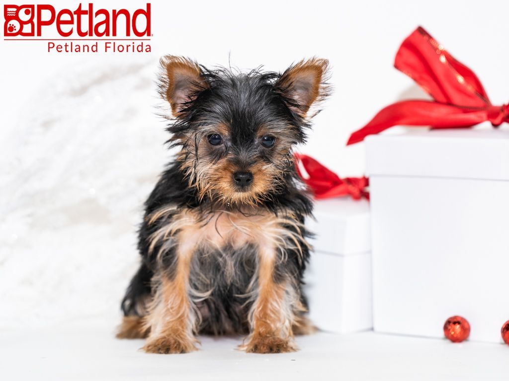 Petland Florida Has Yorkshire Terrier Puppies For Sale Check Out