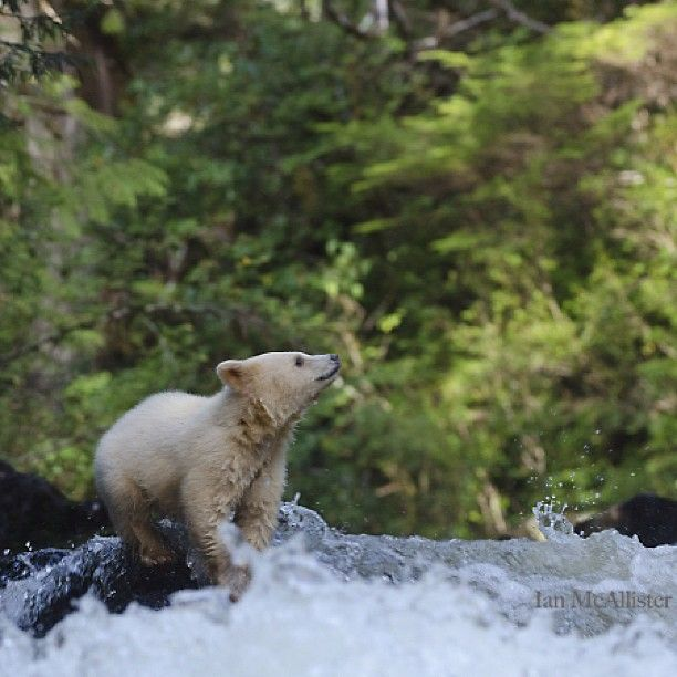 A gorgeous little spirit bear cub crossing a river in B.C. #ExploreCanada at Great Bear Rainforest ... Photo by explorecanada • Instagram