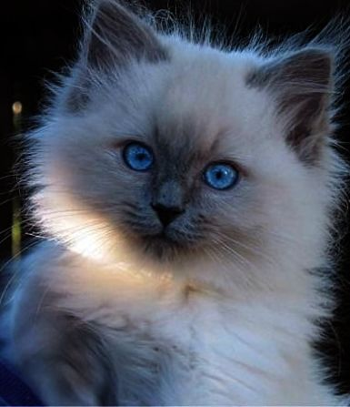 Cats And Kittens For Sale Johannesburg Cats And Kittens Coloring Pages With Images Kittens Cutest Cute Cats Pretty Cats