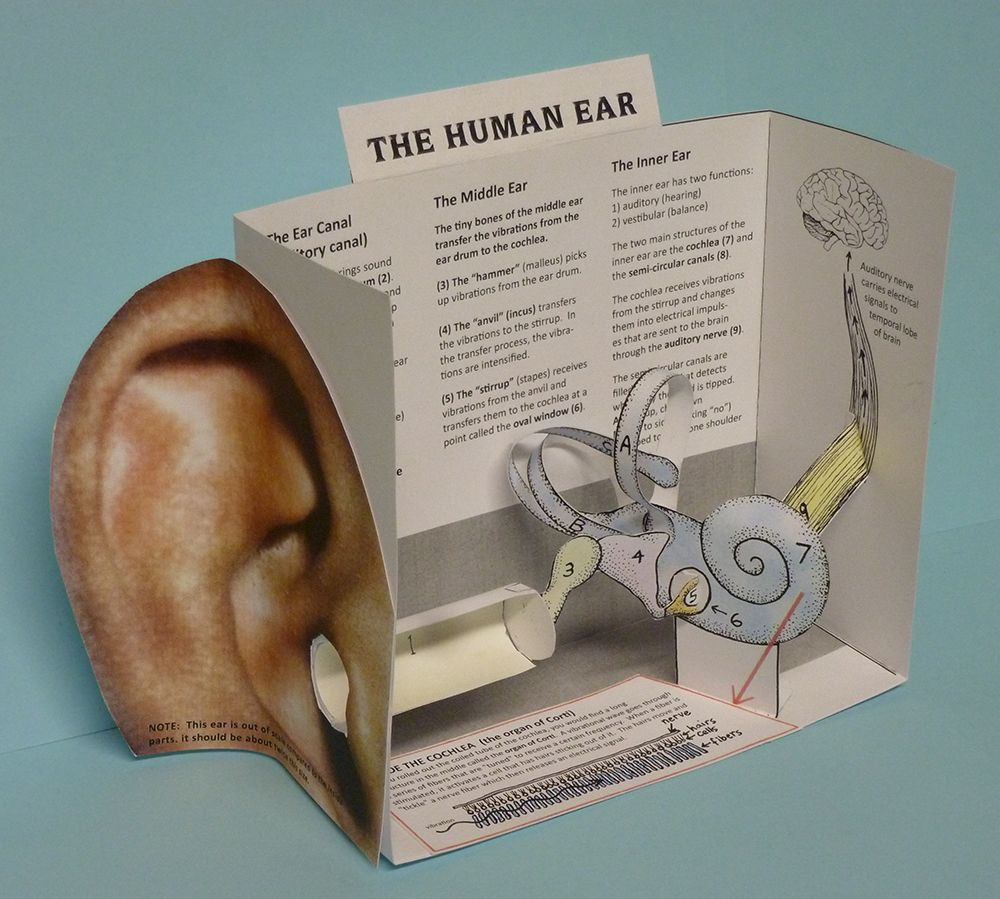 Ear diagram 3d diy enthusiasts wiring diagrams paper ear model final project 1000 pix school biology pinterest rh pinterest com ear diagram labeled ccuart Image collections