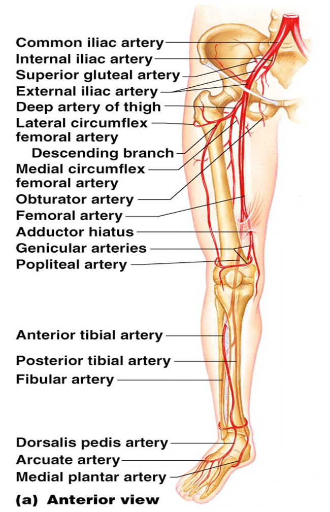 Leg arteries | Anatomy | Pinterest | Pa school