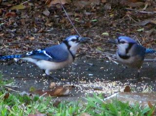 Foster's Backyard Bird Sanctuary: Pics | Backyard birds ...