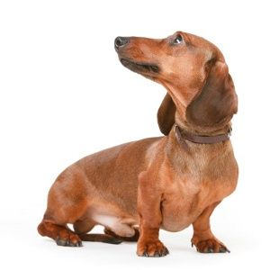 Dogs That Do Not Shed Dogs Dachshund Dog Dachshund