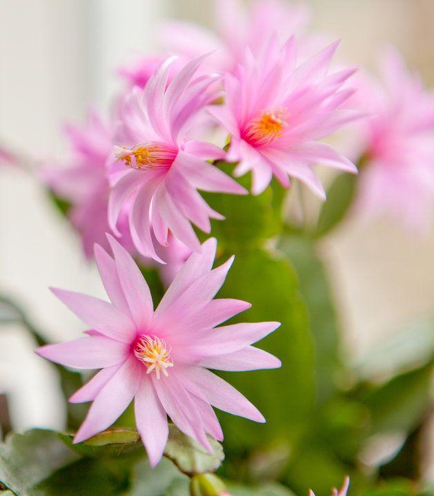 Kwiaty Doniczkowe Ktore Produkuja W Nocy Tlen Idealne Do Sypialni Storczyk Skrzydlokwiat Aloes Zdrowie Easter Cactus Plants Cactus