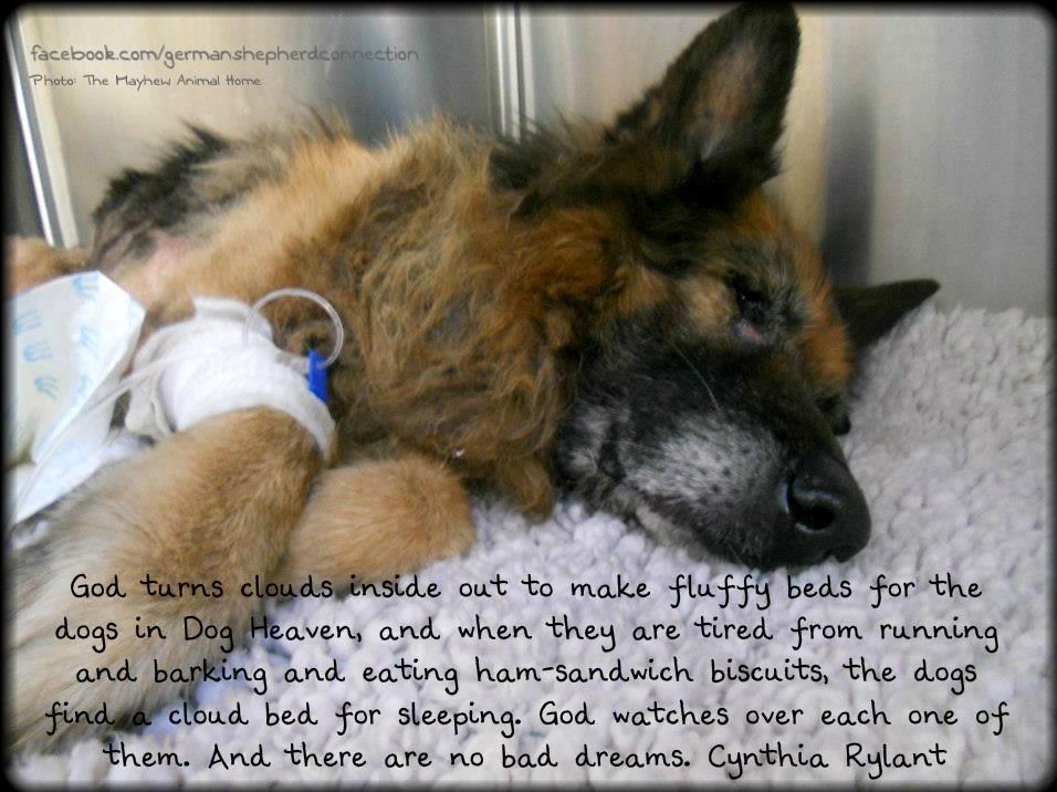 The German Shepherd   Dog charities, Pet insurance cost ...