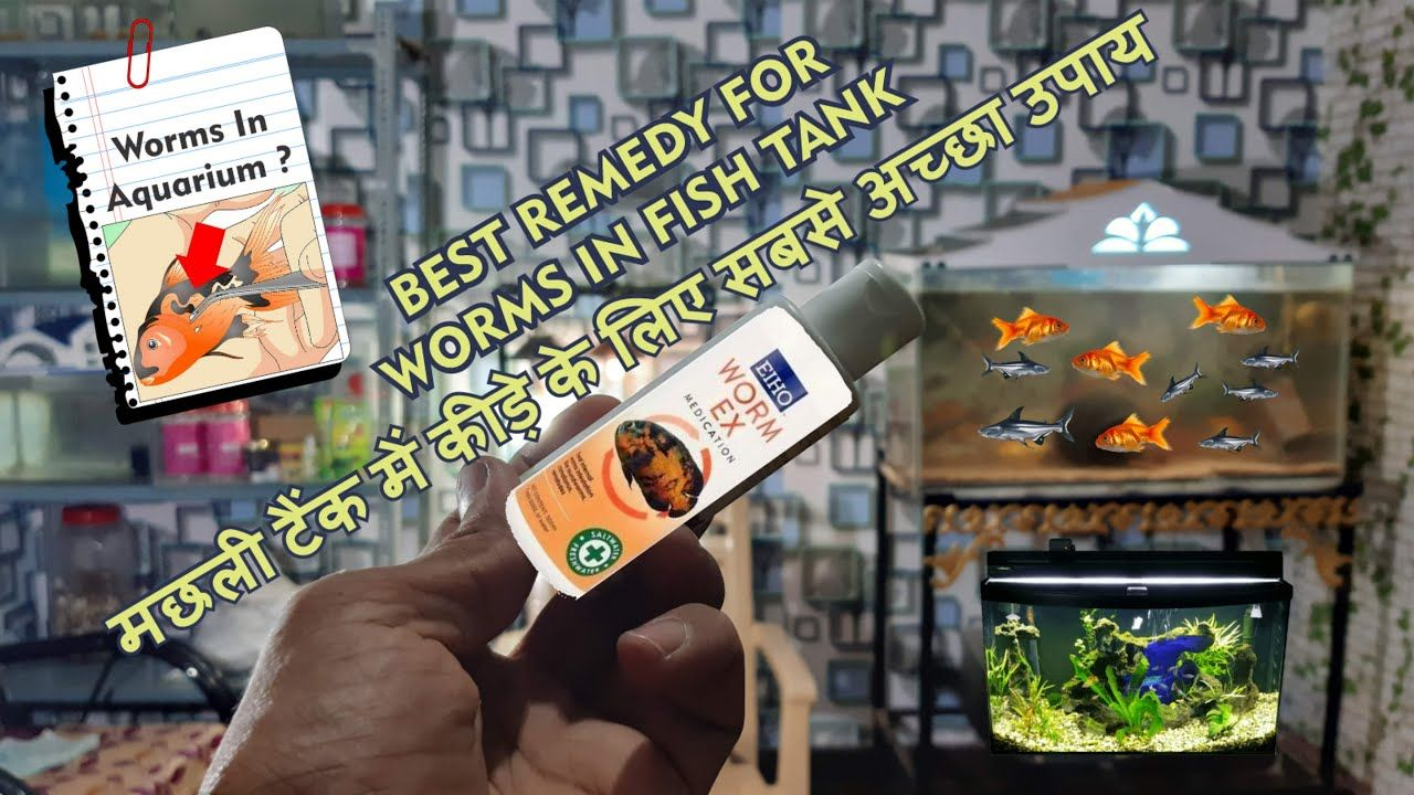 Worms In Your Fish Tank How To Get Rid Of Worms In Aquarium Fish Tank Fish Breeding Parrot Fish