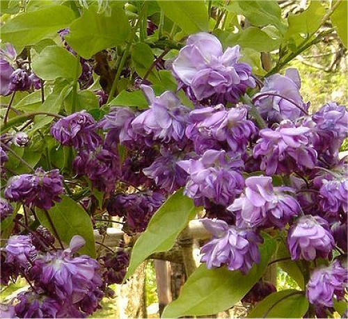 Wisteria Floribunda Yae Kokuryu Black Dragon Wisteria Plants Flowering Trees Wisteria