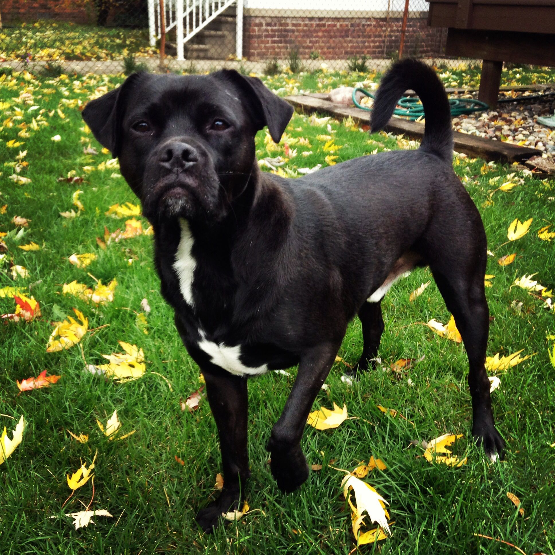 french bulldog lab mix pug lab mix furry friends pinterest labs black pug and dog 9103