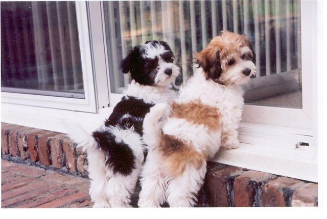 As Devilish As Havanese Can Be I Still Want A Million Of Em