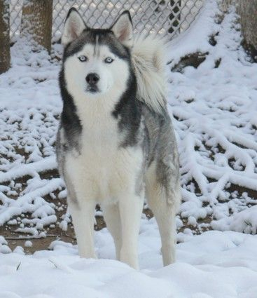 Handsome Male Siberian Husky In Snow Not To Be Mistaken For A