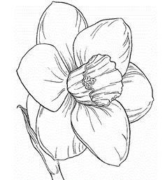 Image Result For Daffodil Coloring Page Flower Sketches