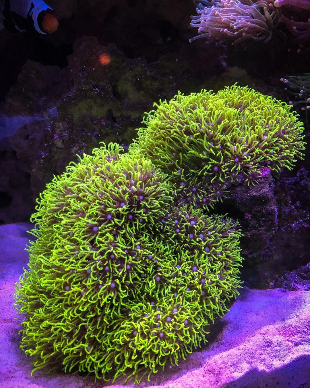 Green Star Polyps Saltwater Tank Nano Reef Tank Ocean Fishing