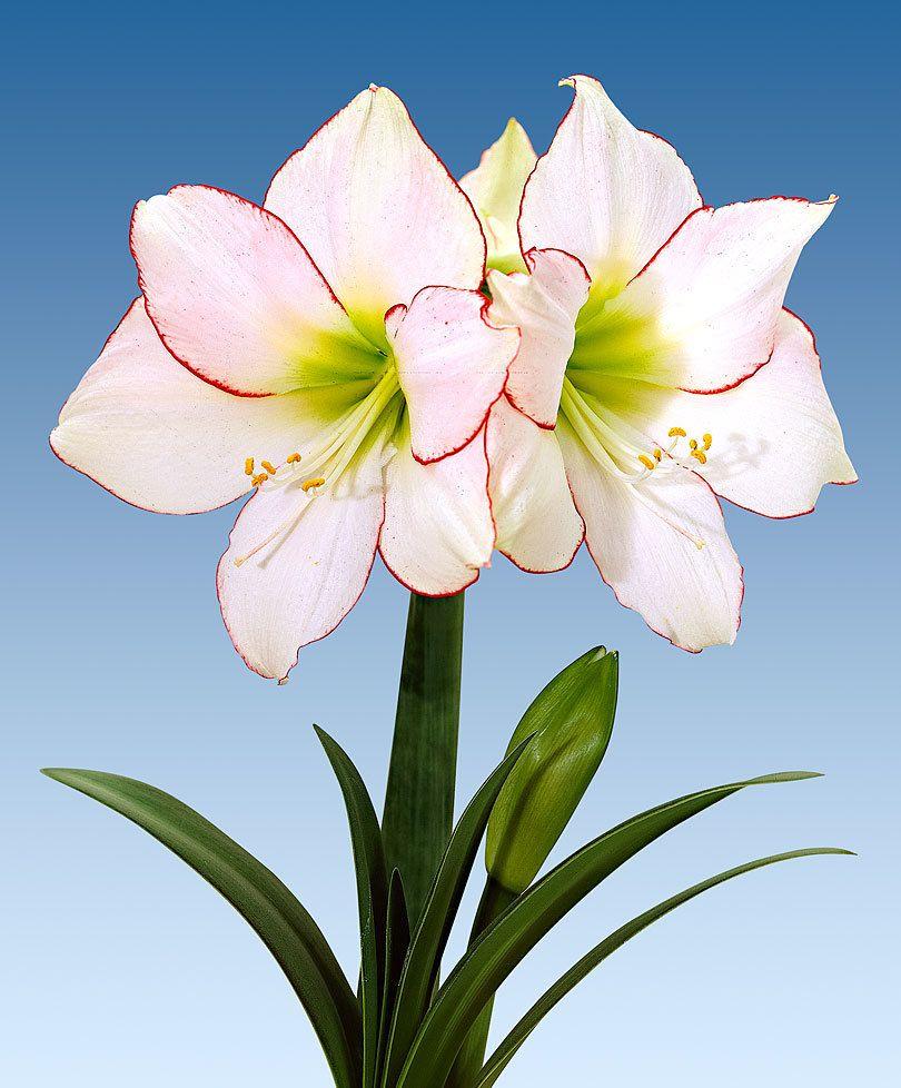 Amaryllis 'Picotee' Flores exóticas, Hermosas flores, Flores