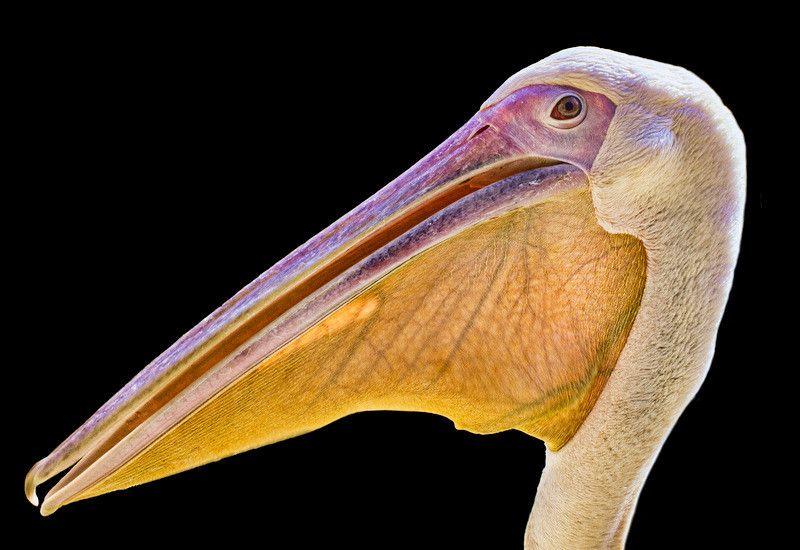 Pelican by Barış Baran TUNÇ on 500px