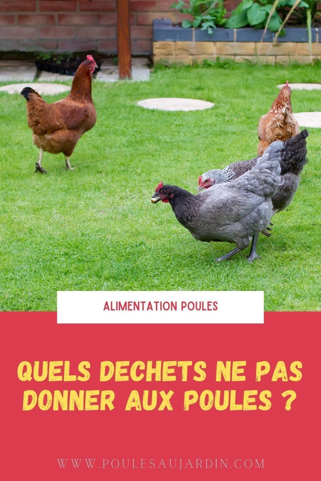 Quels Dechets Ne Pas Donner Aux Poules Poule Alimentation Poule Poule Pondeuse