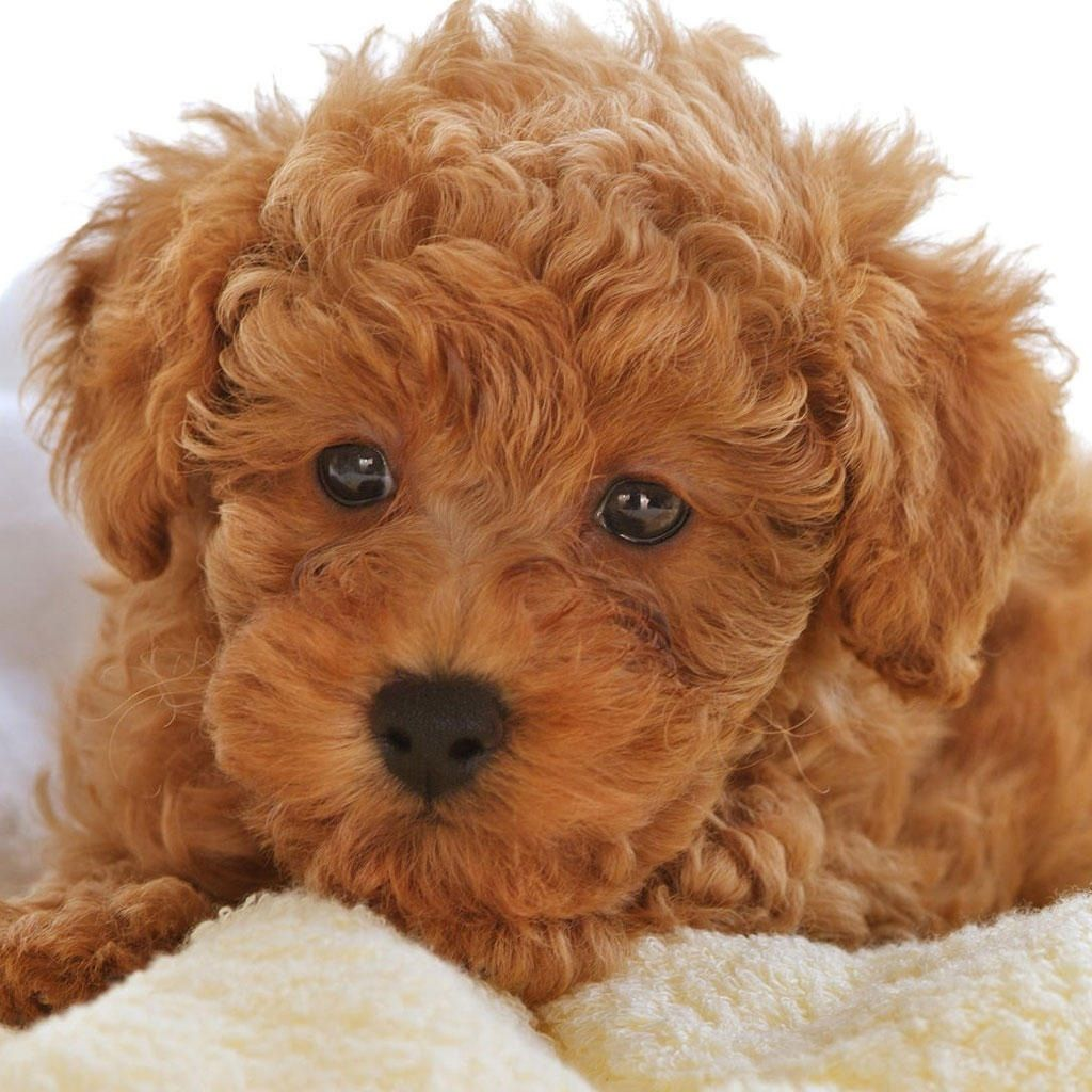 Light Brown Labradoodle Cute Dogs Images Toy Poodle Puppy