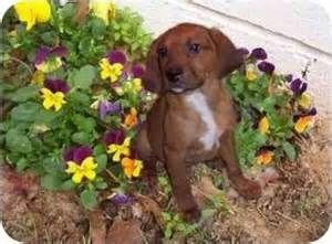 Redbone Hound Puppies For Sale In Alabama Bing Images Hound