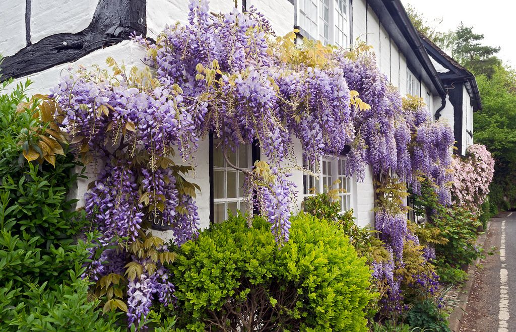 Flowering Wisteria And Clematis Cover Cottage Wall Hertfordshire Uk Photo By Ukgardenphotos Blauweregen Wisteria Clematis Wisteria Garden Photos